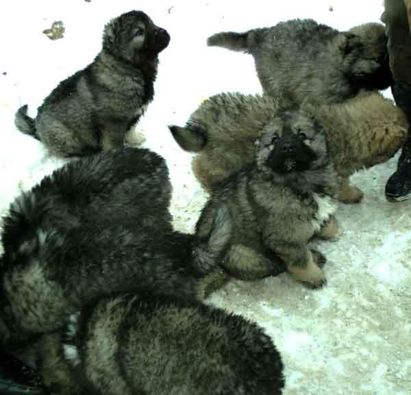 Кавказской овчарки клубные щенки продаются.